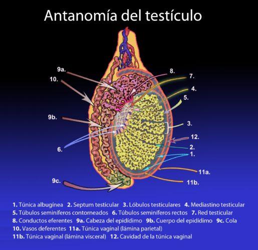 tunica vaginal